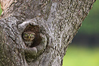 Little Owl careful at nest in an Apple tree France (Little Owl)