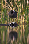 Common Coot adult on a floating wood in a pond France (Common Coot)