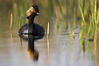Balck necked Grebe in bridal plumage on a pond France  (Black-necked Grebe)