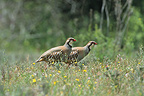 Two Red-legged Partridges in a meadow France (Red-legged Partridge)