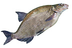 Adult Common bream on white background Balgau  (Common Bream)