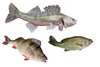 Three freshwater carnivorous fish