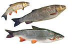 Two species of fish from the Rhin Balgau