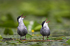 Couple of Whiskered terns defending its territory France (Whiskered tern)