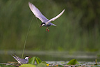 Whiskered tern male bringing back a twig for the nest (Whiskered tern)