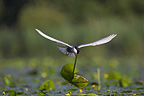 Whiskered tern flying with a Water lily in the beack France (Whiskered tern)