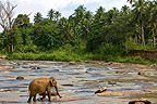 Domestic Asian Elephant on the river Sri Lanka� (Asian elephant)