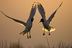 Black headed Gulls flying at sunset Brenne France (Black-headed Gull)
