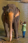 Domestic Asian Elephant and his cornac Sri Lanka  (Asian elephant)