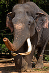 Asian Elephant in the eyes slashed following ill treatment  (Asian elephant)