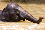 Domestic Asian Elephant bathing Sri Lanka� (Asian elephant)