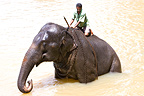 Domestic Asian Elephant bathing and his cornac Sri Lanka  (Asian elephant)