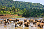 Domestic Asian Elephants on the river Sri Lanka� (Asian elephant)