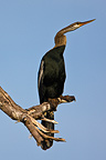 Oriental Darter on branch Budunla National Park Sri Lanka  (Darter)
