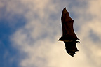 Indian Flying Fox flying Budunla National Park Sri Lanka  (Giant flying fox)