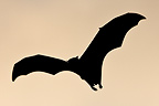 Indian Flying Fox flying Budunla National Park Sri Lanka� (Giant flying fox)