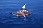 Common Tern resting on a loggerhead turtle Pico Island (Common tern)