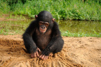 Young Chimpanzee playing on the bank of a river in Cameroon� (Chimpanzee)