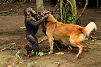 Young Chimpanzee playing with a dog in Cameroon (Chimpanzee)