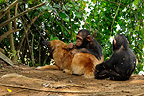 Young Chimpanzees grooming a dog in Cameroon (Chimpanzee)
