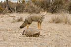 South American grey Fox and Large Hairy Armadillo  Patagonia (South American Grey Fox; Large hairy armadillos)
