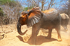 Elephants from the Elephant Orphanage of Sheldrick Kenya (African elephant)
