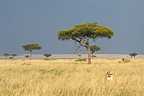 Lioness hunting in the savannah Masai Mara Kenya� (African lion)