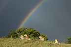 Lionesses hunt and rainbow Masai Mara Kenya  (African lion)