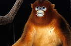 Portrait of a Golden Snub-nosed Monkey male (Golden snub-nosed monkey)
