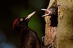 Male Black Woodpecker feeding its young in nest (Black Woodpecker)