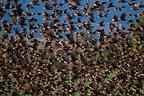Common Starlings flying away (Common Starlings)