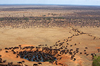 Savannah buffaloes at watering place Tsavo East Kenya� (Cape buffalo)