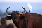 Cape buffalo with cattle Heron on the back Masai Mara Kenya (Cape buffalo)
