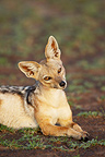 Portrait Black-backed Jackal curious Masai Mara Kenya (Black-backed jackal)