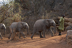 Guard and elephants Sheldrick orphanage Tsavo Kenya  (African elephant)