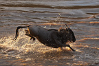 White-bearded Wildbeast jumping in a river  Masaï Mara Kenya (Eastern white-bearded wildebeest)