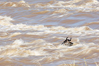 White-bearded Wildbeast crossing a river Masaï Mara Kenya (Eastern white-bearded wildebeest)