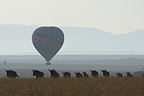 White-bearded Wildbeast migration and air-balloon Masaï Mara (Eastern white-bearded wildebeest)