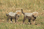 Young Cheetahs walking in the savannah Masai Mara Kenya (Cheetah)