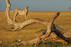 Cheetah on the trunk of a dead tree Masai Mara� (Cheetah)