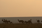 Impalas at dusk in Savannah Masai Mara Kenya� (Impala)