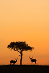 Silhouette of Impala male and tree at dusk Masai Mara Kenya (Impala)