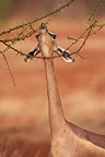 Gerenuk eating leaves from a thorny tree Tsavo East Kenya (Gerenuk )