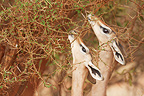 Gerenuks eating leaves from a thorny tree Tsavo East Kenya (Gerenuk )