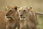 Portrait of Lionesses Masai Mara Kenya� (African lion)