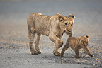 Young Lion walking with a cub Masai Mara Kenya  (African lion)