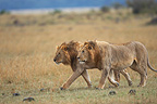 Lions patrolling in the savannah Masai Mara Kenya� (African lion)