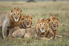 Lions resting in the savannah Masai Mara Kenya� (African lion)