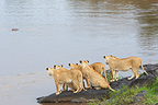 Lionesses observing a hippopotamus in water Masai Mara (African lion)