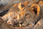 Portrait of a Young Lioness at dusk Botswana� (African lion)